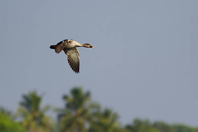 Photograph - Spot-billed Duck - In Flight by Ramabhadran Thirupattur