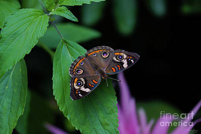 Photograph - Spotted Butterfly by Jennifer White