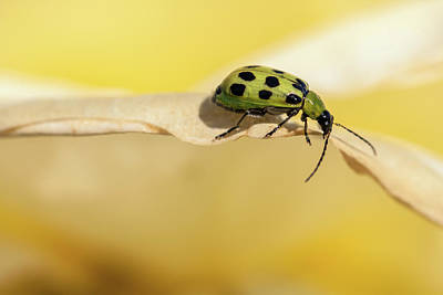 Photograph - Spotted Cucumber Beetle  by Jonathan Nguyen