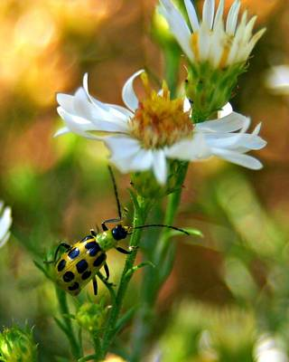 Photograph - Spotted Cucumber Beetle On Aster by Jeanette Fellows