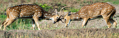 Spotted Deer Axis Axis Fighting, India Art Print by Panoramic Images