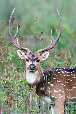 Focus On Foreground Photograph - Spotted Deer Axis Axis, Kanha National by Panoramic Images