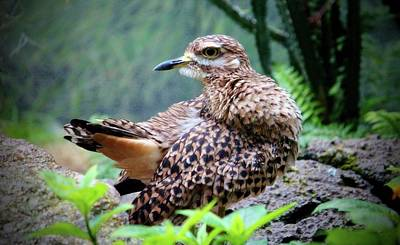 Photograph - Spotted Dikkop by Cynthia Guinn