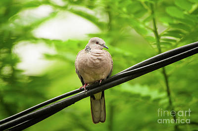 Photograph - Spotted Dove   by Venura Herath