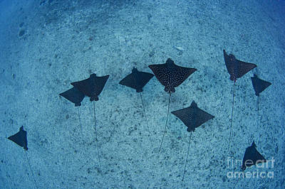 Spotted Eagle Rays Art Print by Dave Fleetham - Printscapes