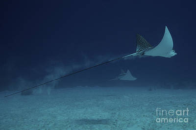 Spotted Eagle Ray Photograph - Spotted Eagle Rays Glide Effortlessly by Terry Moore
