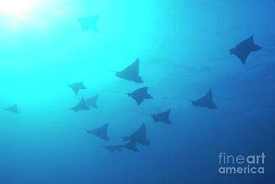 Spotted Eagle Ray Photograph - Spotted Eagle Rays by Sami Sarkis