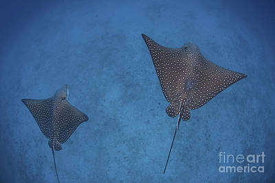 Spotted Eagle Ray Photograph - Spotted Eagle Rays Swim by Ethan Daniels