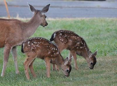 Photograph - Spotted Fawns  by Christy Pooschke