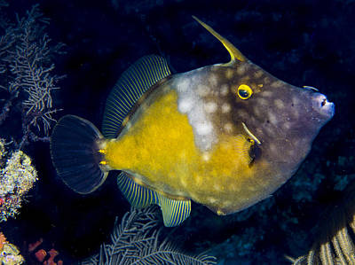 Photograph - Spotted Filefish by Jean Noren
