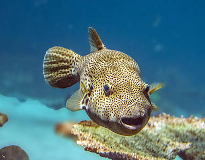 Photograph - Spotted Fish Portrait by William Bitman