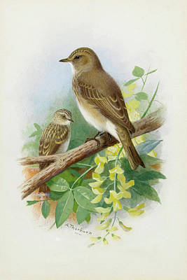 Flycatcher Mixed Media - Spotted Flycatchers By Thorburn by Archibald Thorburn