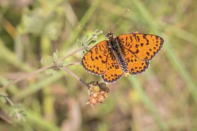 Photograph - Spotted Fritillary - Melitaea Dydima by Jivko Nakev