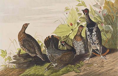 Berry Drawing - Spotted Grouse by John James Audubon
