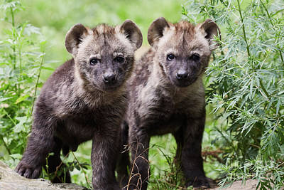Photograph - Spotted Hyena Cubs I by Nick Biemans