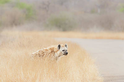 Photograph - Spotted Hyena by Petrus Bester