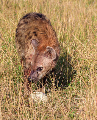 Photograph - Spotted Hyena Stealing Ostrich Egg by Mark Coran