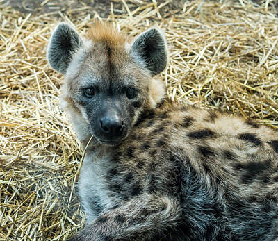 Photograph - Spotted Hyena by Steven Ralser