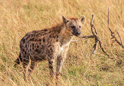 Photograph -  Spotted Hyena Watching by Mark Coran