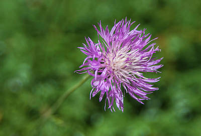 Photograph - Spotted Knapweed  by Rick Mosher
