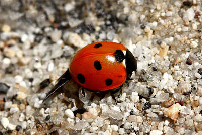 Ladybug Photograph - Spotted Ladybug Wings Dragging In Sand by Tracie Kaska