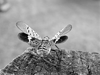Photograph - Spotted Lantern Fly by Brenda Conrad