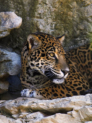 Photograph - Spotted Leopard Looking Away by Charles McKelroy