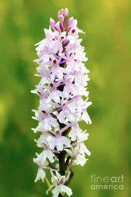 Photograph - Spotted Orchid by Baggieoldboy