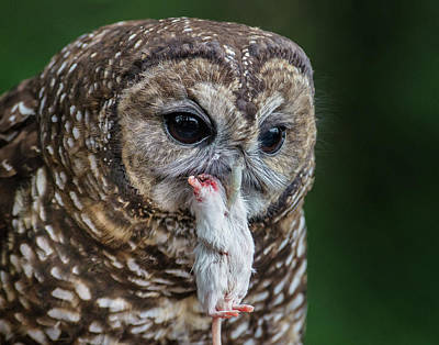 Photograph - Spotted Owl And Dinner by Greg Nyquist