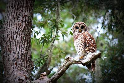 Photograph - Spotted Owl II by Mandy Shupp