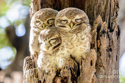 Photograph - Spotted Owlets by Werner Padarin