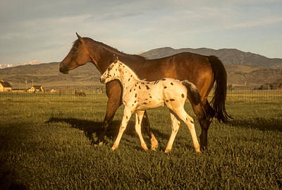 Photograph - Spotted Pony Appaloosa Horse by John Brink