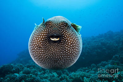 Spotted Pufferfish Art Print by Dave Fleetham - Printscapes