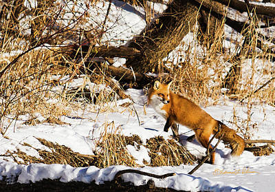 Photograph - Spotted Red Fox by Edward Peterson