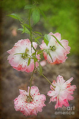 Photograph - Spotted Roses by Elaine Teague