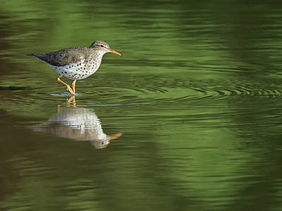 Photograph - Spotted Sandpiper 8138-050118-1cr by Tam Ryan