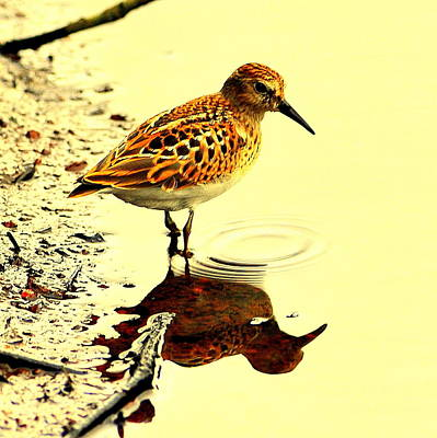 Spotted Sandpiper Art Print by Aron Chervin