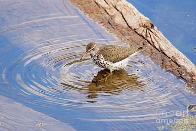 Photograph - Spotted Sandpiper by Alyce Taylor