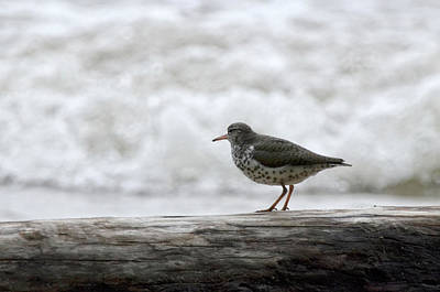 Photograph - Spotted Sandpiper by Ann Bridges
