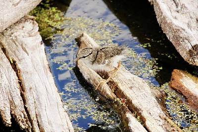 Photograph - Spotted Sandpiper Chick by Alyce Taylor