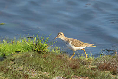 Photograph - Spotted Sandpiper by Donna Kennedy