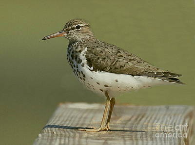 Photograph - Spotted Sandpiper by Myrna Bradshaw