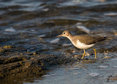 Photograph - Spotted Sandpiper by Randy Hall