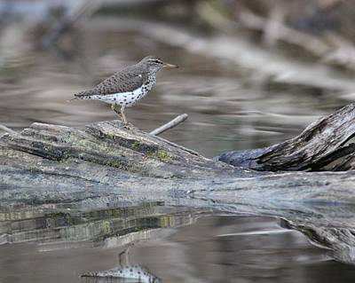 Wall Art - Photograph - Spotted Sandpiper by Robert Papps