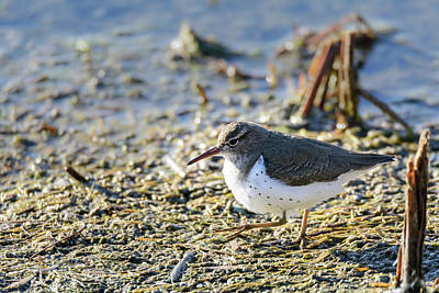 Photograph - Spotted Sandpiper Teetering Along At Estero Llano Grande State Park by Debra Martz
