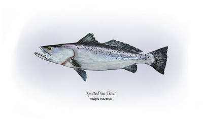 Angling Painting - Spotted Sea Trout by Ralph Martens