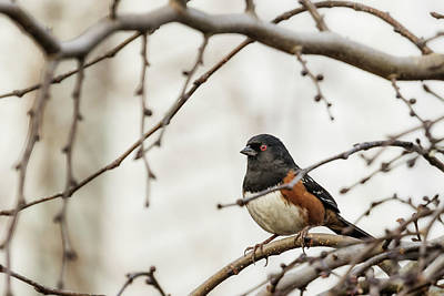Photograph - Spotted Towhee by Belinda Greb