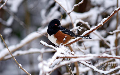 Photograph - Spotted Towhee Bird by Terry Elniski