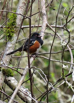 Photograph - Spotted Towhee by I'ina Van Lawick