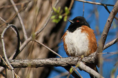 Photograph - Spotted Towhee In Early Spring by Cascade Colors